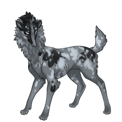 Gray Preat with black patches and light gray merle.